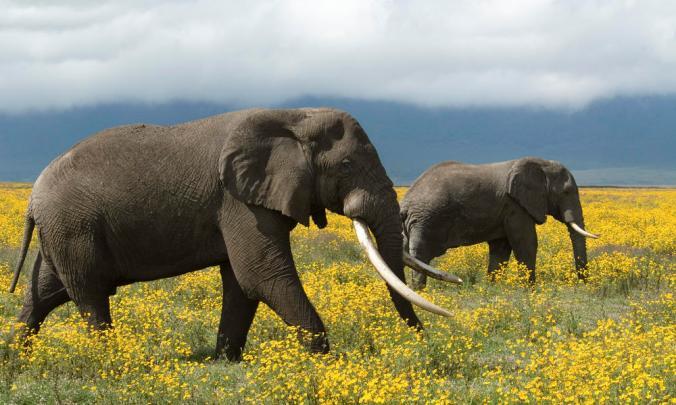 African elephants roaming, Tanzania